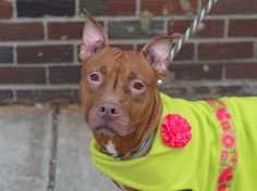 Brooklyn Center  FIERCE - A1030016  **SAFER: AVERAGE HOME**  FEMALE, BROWN / WHITE, PIT BULL MIX, 5 yrs STRAY - STRAY WAIT, NO HOLD Reason ABANDON Intake condition EXAM REQ Intake Date 03/11/2015, From NY 11216, DueOut Date 03/14/2015,