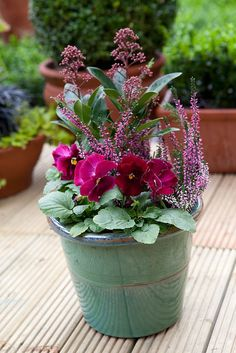Pot for October colour: Skimmia japonica 'Rubella', heather and pansy 'Deep Pink'. Photo by Sarah Cuttle.
