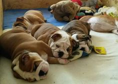 ❤ Slobering Slumber Party ❤ Posted on English Bulldogs With Love