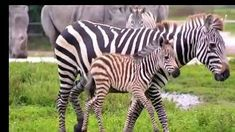 Zebras are several species of African equids (horse family) united by their distinctive black-and-white striped coats. Zebra Midliners, Zebra Finch, Baby Zebra, Zebra Pictures, Animal Pictures, Zoo Animals, Cute Baby Animals, Wild Animals, Zebra Tattoos