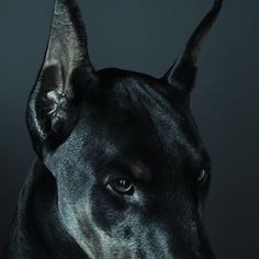Stream Best emotion by DELOS♛ from desktop or your mobile device Doberman Pinscher, Doberman Dogs, Scary Dogs, Alphonse Elric, Character Aesthetic, Gods And Goddesses, Pets, Beautiful Creatures, Cute Dogs