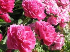"in love with peonies. This site gives tips on ""How to Grow Peonies in Containers.""am in love with peonies. This site gives tips on ""How to Grow Peonies in Containers. Beautiful Flowers, Fall Garden Vegetables, Planting Flowers, Flowers, Best Herbs To Grow, Autumn Garden, Growing Peonies, Peonies, Container Gardening"