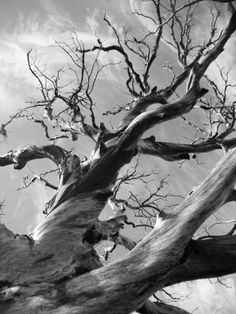 A beautiful old tree that burnt in the 2003 Cedar Fire that scorched much of San Diego County. The tree was on Cuyamaca Peak (Conejos Trail), and has since fallen.  mickgieskes.smugmug.com