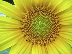 Het geheim van de gulden snede | Achtergrond | Wiskunde | gulden snede, wiskunde en kunst, phi, fibonacci - Kennislink