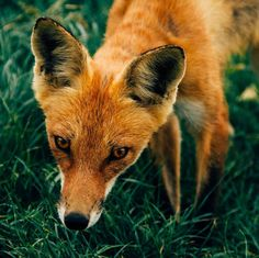 Back after a short break from Insta! I wasnt very well. It seems everyone is getting sick this time of year.  This beautiful fox was captured in camera by Kyle Glenn  #fox #beautiful #beautifulfox #wildlife #wildlifephotographer #redfox #foxes #wildfox #beautifulnature #nature #naturephotography #naturelover #cute #animalkingdom #animallove #wildandfree #mothernature #naturalbeauty #wildnature #naturelove