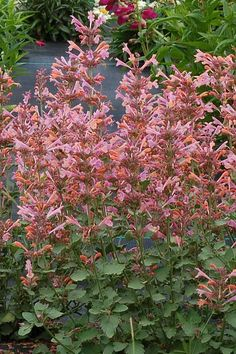 There are beautiful pale orange and light rose pink spikes of flowers that love the sun and will attract pollinators and hummingbirds. tall and wide. Garden Tool Storage, Garden Tools, Garden Ideas, Small Back Gardens, Monrovia Plants, Plant Catalogs, Sloped Garden, How To Attract Hummingbirds, Pale Orange
