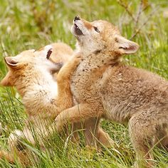 COYOTE PUPS playing in YELLOWSTONE National Park -- (Image by Dr. Joseph T. McGinn) --helpful tips on visiting in article and check out our park wildlife slideshow -- http://www.examiner.com/article/yellowstone-national-park-holds-america-s-best-wildlife-adventures