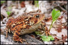 Eastern American toad (with audio of croak)