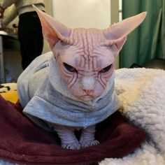 Meet Loki, The Worlds Grumpiest Sphynx Cat Who Looks Like . Wise Animals, Baby Animals, Funny Animals, Cute Hairless Cat, Chat Sphynx, Loki, Cat Site, Funny Photoshop Pictures, Devon Rex