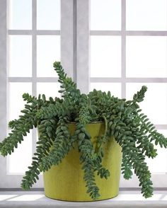 Unique looking succulents can make your rooms look better, also, they are low-maintenance and easiest plants to grow. Check out the 14 best indoor succulents for your home! Easy Plants To Grow, Cool Plants, Growing Plants, Shade Plants, Best Indoor Plants, Indoor Garden, Balcony Garden, Cacti And Succulents, Planting Succulents