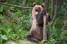 URSI MADE in ROMANIA. Credit foto: Radu Lipsa Funny Bears, Bear Photos, Brown Bear, Romania, Animals, Image, Animales, Animaux, Animal