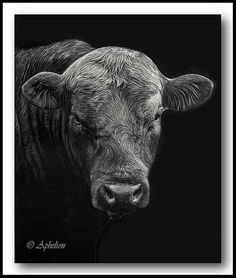 "scratchboard Art by Cathy Sheeter- ""Angus Bull"" Black And White Drawing, Black Art, Amazing Drawings, Art Drawings, Kratz Kunst, Art Classroom Management, Stippling Art, Scratchboard Art, Engraving Art"
