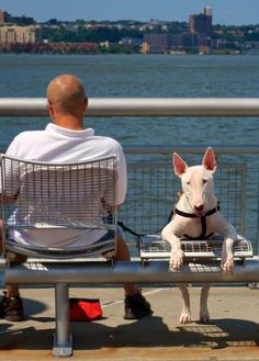 Bull Terrier, NYC.  D.Bryant
