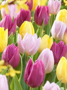 Tulipa Prince Festival