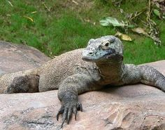 The Komodo Dragon is a large species of lizard that is only found on a handful of islands in the Indonesian archipelago.