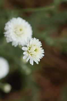 Roman Chamomile flower produces an calming oil for massage.  Are you a massage therapist?  Click to learn more about Aromatherapy for Massage Therapists http://www.aromahead.com/class/aromatherapy-for-massage-therapists