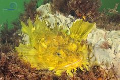 Yellow Sea Raven in Gloucester, MA Part of New England Ocean Odyssey. For more, visit www.newenglandoceanodyssey.org Photo by Brian Skerry.
