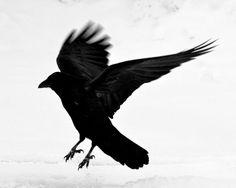 Dark Bird foto by Kat Livengood....visit www.kellymoore.net for more art & fotos