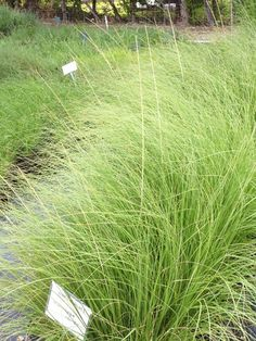 Weeping Muhly