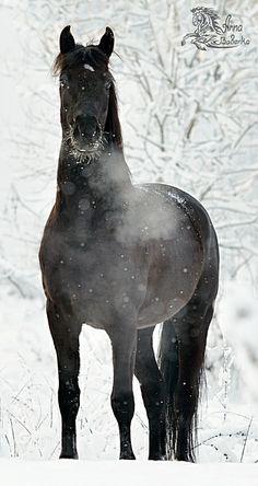 Black horse - Губернатор - черный конь - Lumy - конники - equestrian.ru