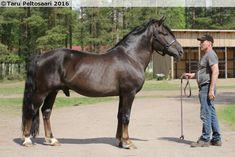 liver chestnut - Finnhorse stallion Epassi