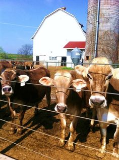 Brown Swiss Cows at the Voegeli Farm