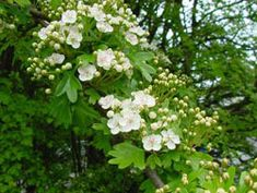 Hawthorn is sacred and is part of the fairy tree triad of Britain (OakAsh & Thorn) making it sacred to fairies. Evergreen Trees, Trees And Shrubs, Trees To Plant, Fruit Tree Nursery, Plant Nursery, Big Plants, Tall Plants, Organic Fruit Trees, Screen Plants