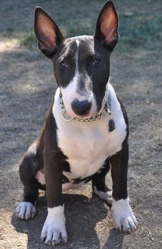 ~ ANOTHER BULL TERRIER BEAUTY ~