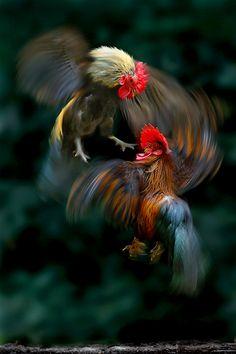 """""""Pelea de gallos"""", Sam Lim."""