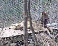 """Red wolf M1803 """"Moose"""" (behind the tree) and one of his daughters at Wolf Conservation Center, a Red Wolf Species Survival Plan participant. Photo credit theirs."""