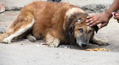 Rescue of an old street dog whose ear was torn to shreds – beautiful rec...