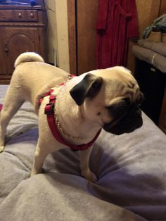 Puggy sues first time at the beach httpsift2hljpvm passion puggy sues first time at the beach httpsift2hljpvm passion for babies pinterest dog animal and english bulldogs thecheapjerseys Image collections