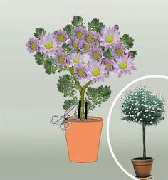 Chryzantémy - starostlivost a vysadba na kmienku