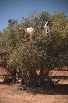 Au Maroc les chèvres grimpent dans les arbres  2Tout2Rien