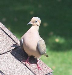 Morning Dove Dove Pigeon, Mourning Dove, Bird Pictures, Little Birds, Deer Hunting, Swans, Hummingbirds, Bird Feathers, Wildlife Photography
