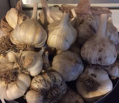 How To Grow Garlic This Fall Simple Methods To A Great Crop is part of home Garden Beginner - If you have ever wanted to grow garlic, fall is the time! Learn how to easily plant and maintain a crop of garlic to enjoy homegrown garlic the year around! When To Harvest Garlic, Planting Garlic, Household Pests, Organic Gardening Tips, Vegetable Gardening, Veggie Gardens, Urban Gardening, Garden Guide, Garden Ideas