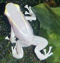 »✿❤Love Frogs!❤✿« Albino Tree Frog