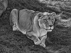Intensity 3 Bw.  A white lioness about to receive fresh meat at the Toronto zoo. I could feel her power from 20 ft. away!