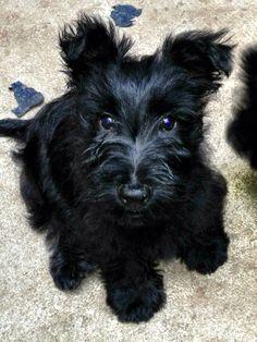 Luna's baby! Those killing Scottish terrier's eyes!