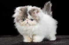 Persian cat. I want one. So I can giggle at it's little smooshed face. #PersianCat