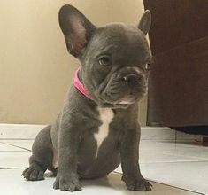 Blue French Bulldog Puppy