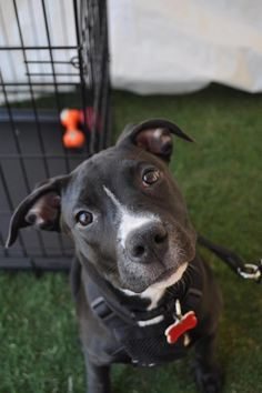 Chance the American Pit Bull Terrier / American Staffordshire Terrier (short coat) Photo