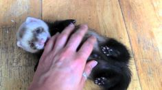 Cute baby ferrets...heart warming!, via YouTube.
