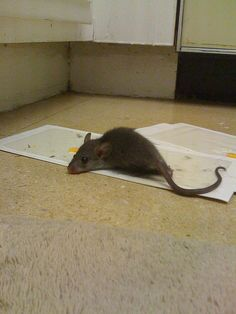 Trying to get rid of the rat problem!     Do it yourself pest control for the individual.