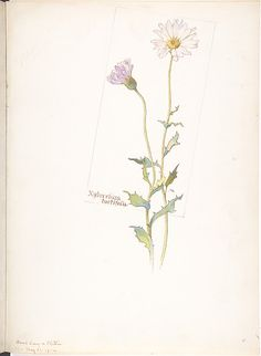 Margaret Neilson Armstrong | Xylorrhiza Tortifolia | The Met