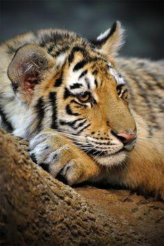 Amur (Siberian)Tiger Cub