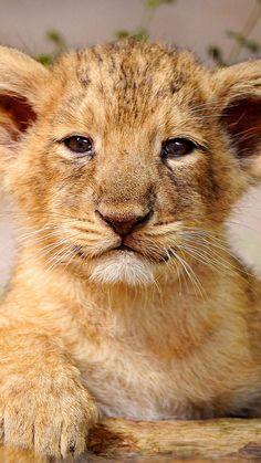 Rhino Lion Park Close Up Of White Lion Cub Desktop Background . Beautiful Cats, Animals Beautiful, Cute Baby Animals, Animals And Pets, Animal Babies, Wild Animals, Baby Tigers, Tiger Cubs, Tiger Tiger