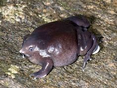 Pignose frog.  FYI: The pignose frog spends most of its life burrowed underground, emerging for only a few weeks every year to breed. Hey, there's someone for everyone.