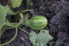 Secrete ale cultivarii castravetilor in gradina bio - magazinul de acasă Watermelon, Solar, Home And Garden, Gardening, Flowers, Vegetable Gardening, Plant, Lawn And Garden, Ideas