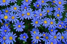 Blue Daisy Seeds Felicia Daisy Felicia Heterophylla Blue 25 thru 500 seeds Daisy Seeds